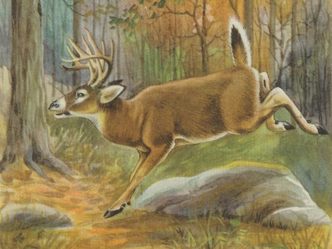 1926 VIRGINIA DEER Book-Plate Illustration in Full Color