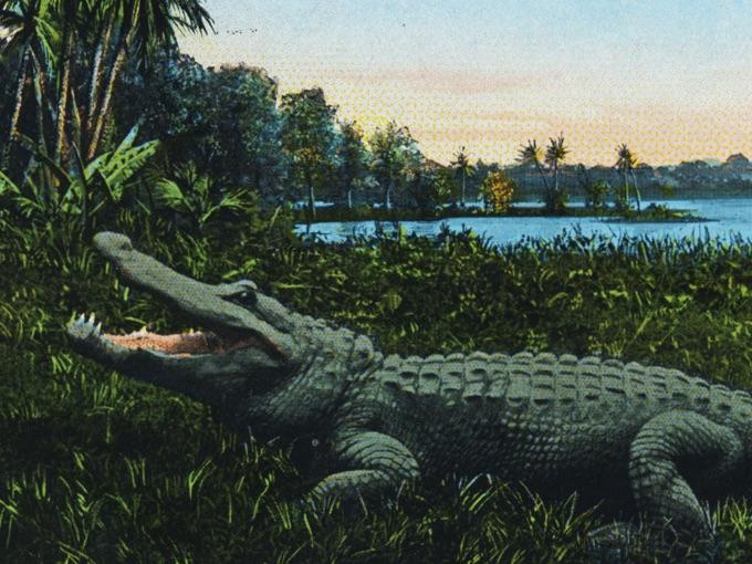 1930 Photo Postcard — Bayano Alligator, Panama