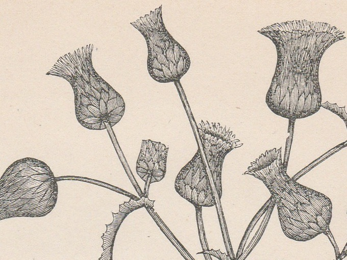 1889 Sonchus Oleraceus (Sow Thistle), Fine Engraved Illustration