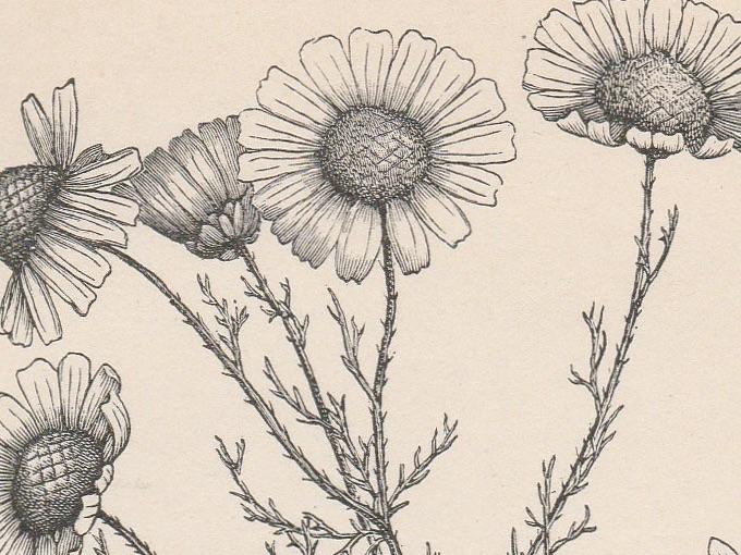 1889 Anthemis Cotula (Mayweed), Fine Engraved Illustration